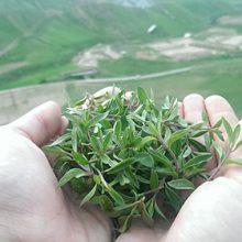 کاکوتی (آنخ) خشک شده ۵۰ گرمی با نام علمی (Ziziphora Cliniopodiodes)